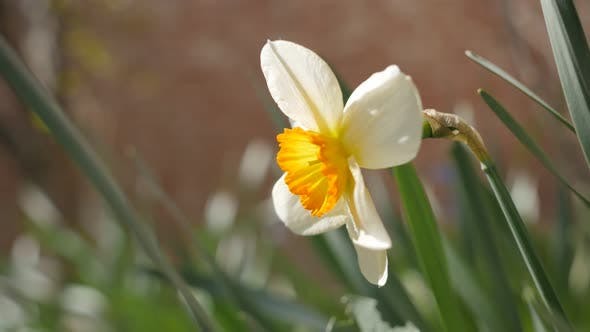 Thumbnail for Schöne Narcissus poeticus Blume im Garten 4K 2160p 30fps UltraHD Filmmaterial - Beautiful Narciss