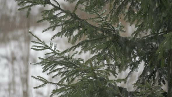 Thumbnail for Evergreen tree branches
