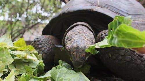 Feeding Huge Aldabra Giant Tortoise Green Leaves in Reserve Zanzibar Africa