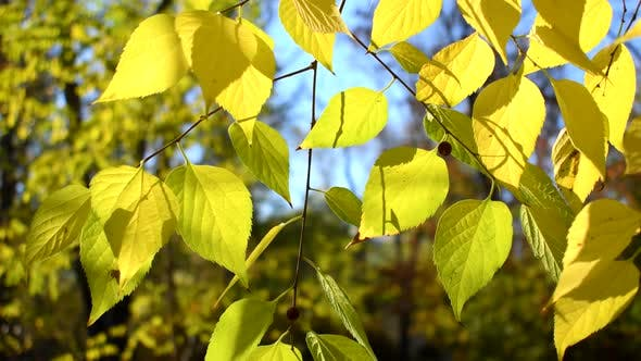 Thumbnail for Autumn leaves of linden tree close up