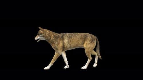 4K Wolf Walk