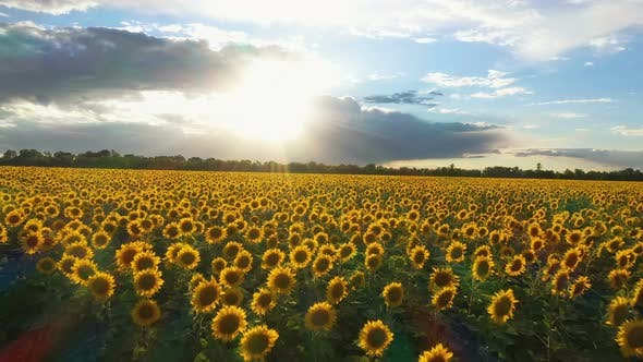 Thumbnail for Evening Sunflower Field