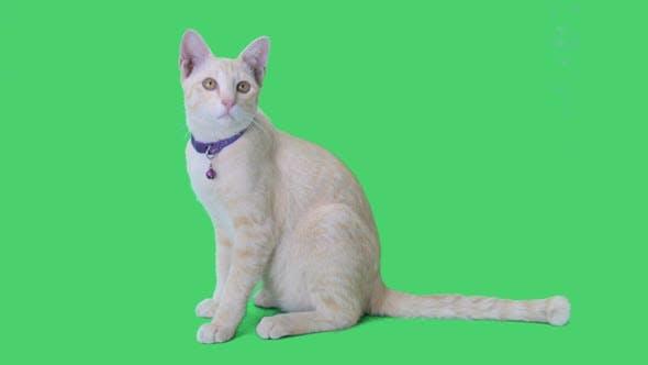 Tabby-Kätzchen, das auf Chroma-Key-Hintergrund sitzt und sich umsieht, grüner Bildschirm