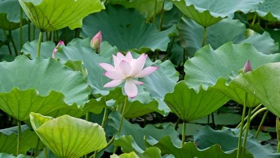 Thumbnail for Beautiful Lotus flower pond