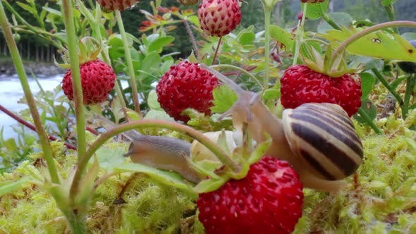 Thumbnail for Snail Looking at the Red Strawberries