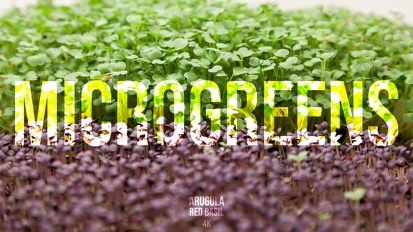 Microgreens Arugula Red Basil