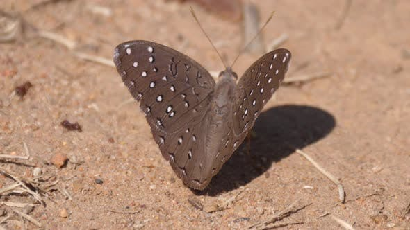 Thumbnail for Brown butterfly on the ground in Waterberg