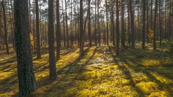 Beautiful Sunset Sun Sunshine In Sunny Summer Coniferous Forest