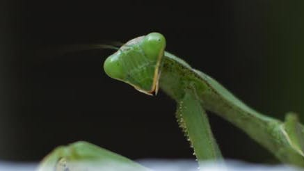 Macro shot of the praying mantis looking to the side on a green background