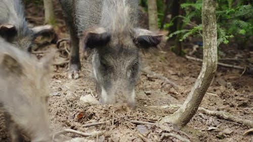 A Large Wild Boar Digs the Ground with Its Snout. Looking for Food in the Forest