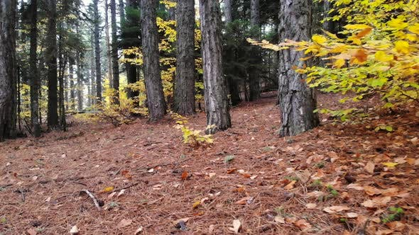 Dry Autumn leaves on Pristine Natural Forest Floor