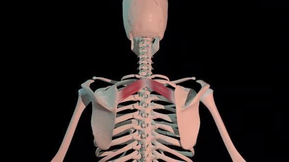 Rhomboid Minor Muscles Full Rotation Loop