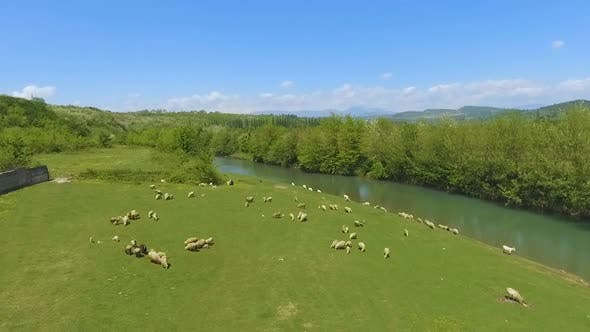 Thumbnail for Flock of Sheep on Green Pasture in Mountains, Cattle Breeding, Organic Wool