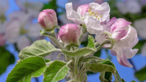 Thumbnail for Apple Fruit Blossom Timelapse