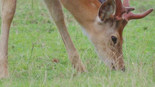 Thumbnail for Grazing Fallow Deer. Dama Dama, Ruminant Mammal,