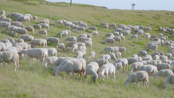 Many Sheep Over Green Hills Meadow