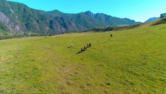 Thumbnail for Flight Over Wild Horses Herd on Meadow