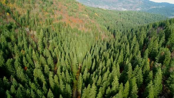 Thumbnail for Green Woods With Coniferous Trees