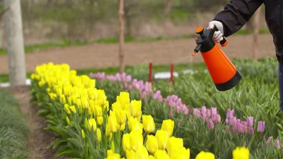 Thumbnail for Tulips Plantation Flowers Production Gardener Spraying Water on the Tulips at Farm