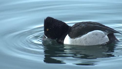 Ring-necked Duck Drake Male Adult Lone Eating Chewing in Winter