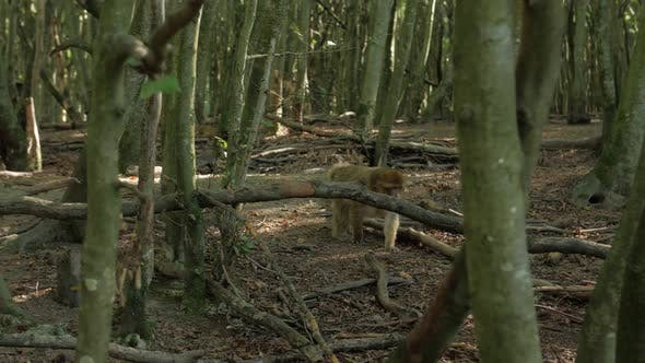 Thumbnail for Male Monkey In The Forest