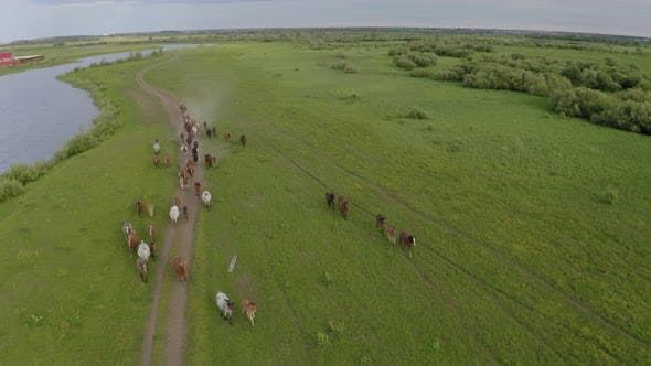 Thumbnail for A Herd of Horses Gallops Through a Green Meadow Along the River