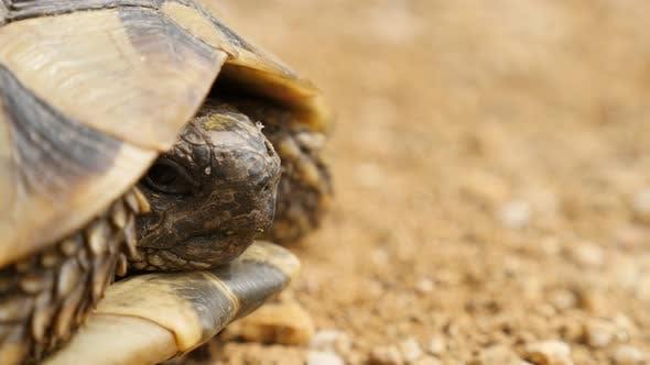 Shallow DOF of Testudo hermanni turtle  lurking and hiding head in armor 4K 2160p 30fps  UltraHD foo