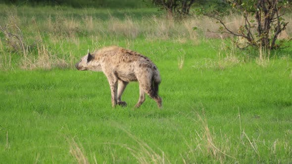 Thumbnail for Hyena walks away at Moremi Game Reserve in Botswana