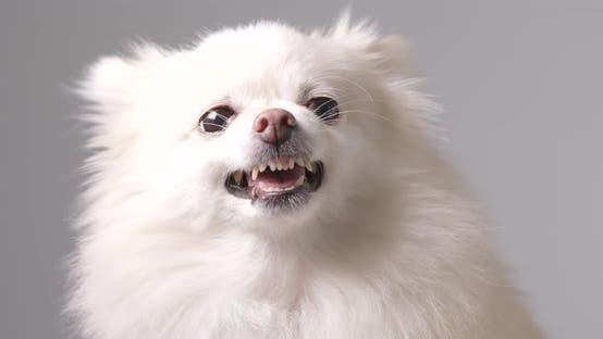 Thumbnail for Angry Pomeranian dog
