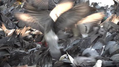 Flock of pigeons struggle to eat the cereal