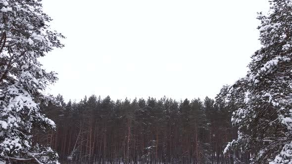 Thumbnail for Drone Flies Past Two Snowcovered Pines Against the Background of a Pine Forest