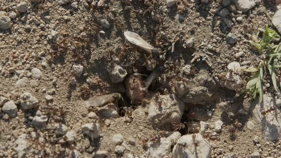 Thumbnail for Colony Ants on an Anthill Closeup.