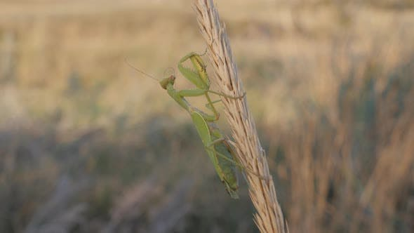 Thumbnail for Insects in Their Natural Habitat, A Praying Mantis Sits on a Mature Inflorescence, Animal Brushes