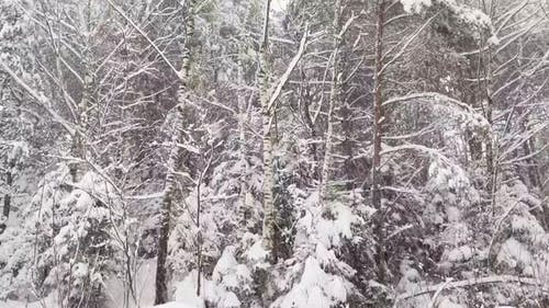 Snow Falling in Winter Forest