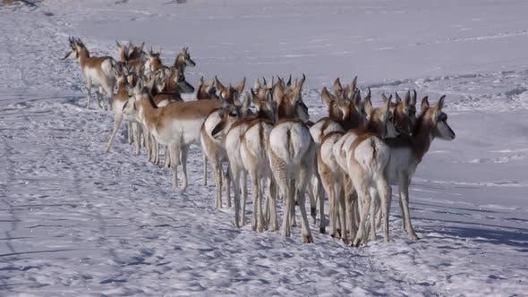Pronghorn Antelope Buck Doe Adult Immature Herd Many Standing Looking Around in Winter