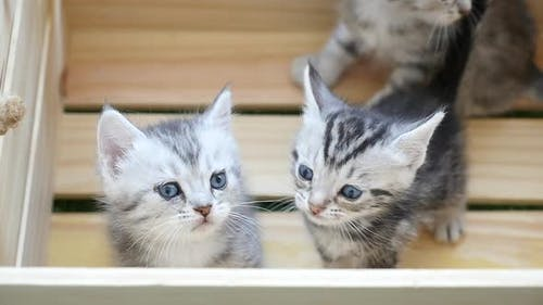 Cute American Short Hair Kittens Playing In Wood Box