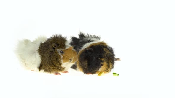 Thumbnail for Abyssinian Guinea Pigs Pet with Black White and Orange Fur Coat Eating Isolated on a White