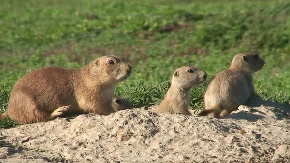 Thumbnail for Black-tailed Prairie Dog Female Adult Young Family Alarmed Nervous Wary in Summer