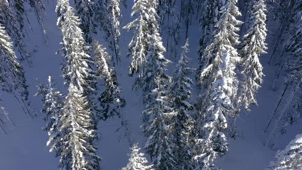Thumbnail for Flying Over Pine Trees Covered By Snow