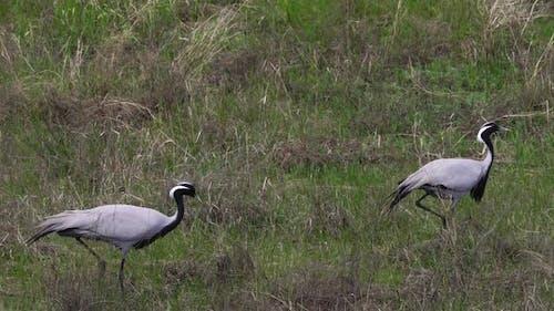 Familie von Kranen Crane Belle oder Anthropoides Jungfrau Weiden auf einer Wiese. Nordkasachstan.