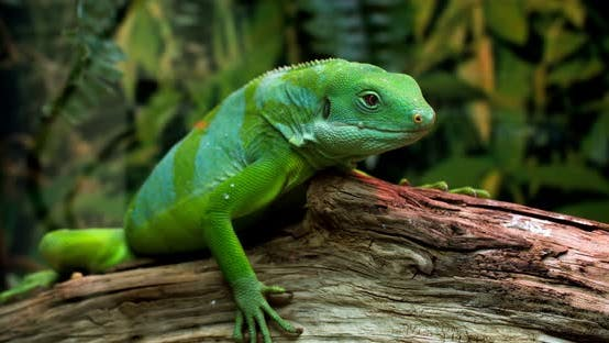 Lau banded iguana (Brachylophus fasciatus) is an arboreal species of lizard endemic