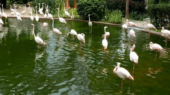 Thumbnail for Flamingos in park