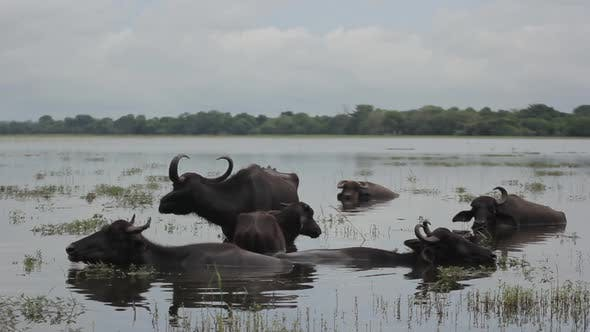 Animals of Sri Lanka. Buffalos in the Lake