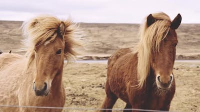 Icelandic Horses Looking At Camera In Landscape