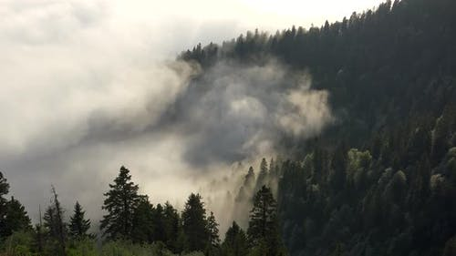 Clouds and Fog Between the Trees in the Wild Dense Forest