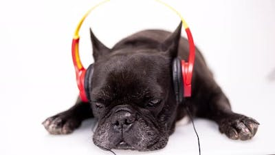 A French Bulldog with Headphones