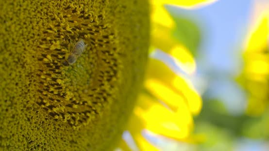 Thumbnail for Sunflower Pollen And Bee