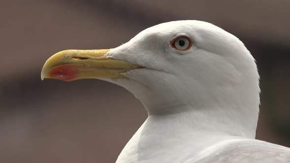 Thumbnail for Head and Face of Seagull