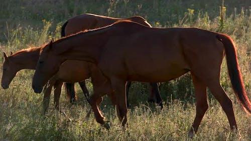 Brown Horses Walk on Meadow.