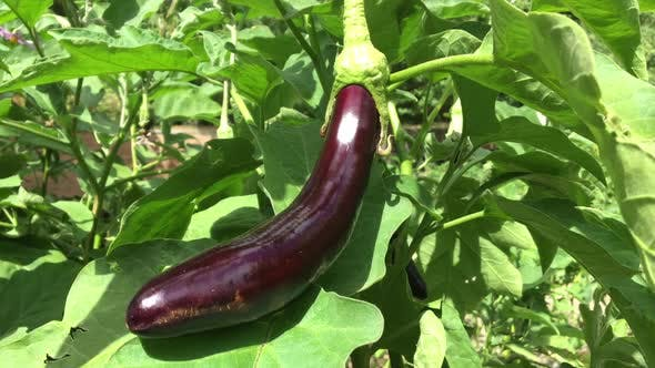 Picking Ripe Eggplant